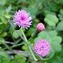 粉紅纓絨花 1060302_1 漳和國中_2.JPG