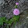 紫背草 1060302 南山高中_1.JPG