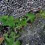 紫背草 1060302 南山高中_3.JPG