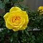 玫瑰(Julia Child) 1060310_1 中和聖慈宮.JPG