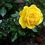 玫瑰(Julia Child) 1060310_2 中和聖慈宮.JPG