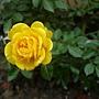 玫瑰(Julia Child) 1060310_3 中和聖慈宮.JPG