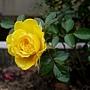 玫瑰(Julia Child) 1060310_4 中和聖慈宮.JPG