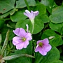 紫花酢漿草 1060317_1 雙和公園.JPG