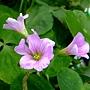 紫花酢漿草 1060317_2 雙和公園.JPG