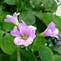 紫花酢漿草 1060317_3 雙和公園.JPG