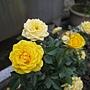 玫瑰(Julia Child) 1060323_1 中和聖慈宮.JPG