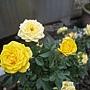 玫瑰(Julia Child) 1060323_2 中和聖慈宮.JPG