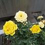 玫瑰(Julia Child) 1060323_3 中和聖慈宮.JPG