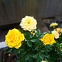 玫瑰(Julia Child) 1060323_4 中和聖慈宮.JPG