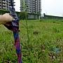 巴西馬鞭草 1060426_5 新北中和河堤.JPG