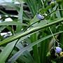 桔梗蘭 1060526_2 台北植物園.JPG