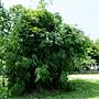 綠竹 1060806_6 大安公園.JPG