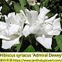 Hibiscus syriacus-Admiral Dewey.jpg