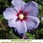 Hibiscus syriacus-Azurri.jpg