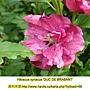 Hibiscus syriacus-Duc De Brabant.jpg