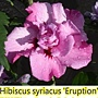 Hibiscus syriacus-Eruption.jpg