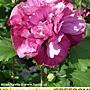 Hibiscus syriacus-Freedom.jpg