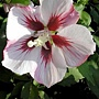 Hibiscus syriacus-Hamabo-2.jpg