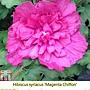 Hibiscus syriacus-Magenta Chiffon.jpg