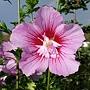 Hibiscus syriacus-Maike.jpg