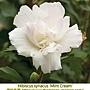 Hibiscus syriacus-Mint Cream.jpg