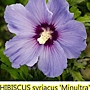 Hibiscus syriacus-Minultra-2.jpg