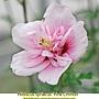 Hibiscus syriacus-Pink Chiffon.jpg