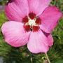 Hibiscus syriacus-Pink Giant.jpg