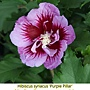 Hibiscus syriacus-Purple Pillar.jpg
