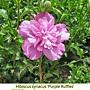 Hibiscus syriacus-Purple Ruffles.jpg