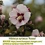 Hibiscus syriacus-Rosso.jpg