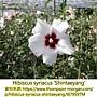 Hibiscus syriacus-Shintaeyang.jpg