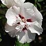 Hibiscus syriacus-Speciosus.jpg