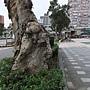 白千層 1061122_1 和平新生路口.JPG