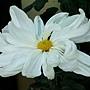 文字菊-山的白十字 1061202 士林官邸眾星雲菊.JPG