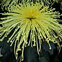 麵線管物-天女的名所 1061202 士林官邸眾星雲菊.JPG