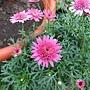 重瓣瑪格麗特 1061202_1 士林官邸眾星雲菊.JPG
