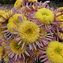 管瓣粉菊-管球型 1061202_02 士林官邸眾星雲菊.JPG