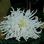 菊花-大平之光 1061202 士林官邸眾星雲菊.JPG