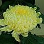 菊花-太平金光 1061202 士林官邸眾星雲菊.JPG