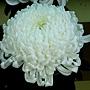 菊花-金山 1061202_2 士林官邸眾星雲菊.JPG
