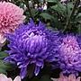 菊花-染色菊 1061202_1 士林官邸眾星雲菊.JPG