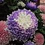 菊花-染色菊 1061202_3 士林官邸眾星雲菊.JPG