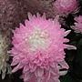 菊花-染色菊 1061202_4 士林官邸眾星雲菊.JPG