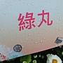 菊花-綠丸.jpg