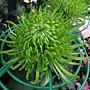 菊花-綠絲菊 1061202 士林官邸眾星雲菊.JPG