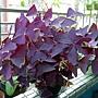 三角紫葉酢漿草1070222.JPG