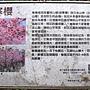 寒櫻 1070218_7 內湖樂活公園.JPG