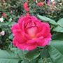 玫瑰 1061202_1 士林官邸眾星雲菊.JPG